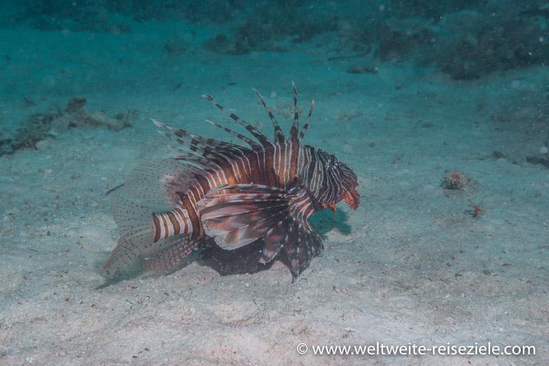 Rotfeuerfisch beim Tauchen im Süden von Sansibar
