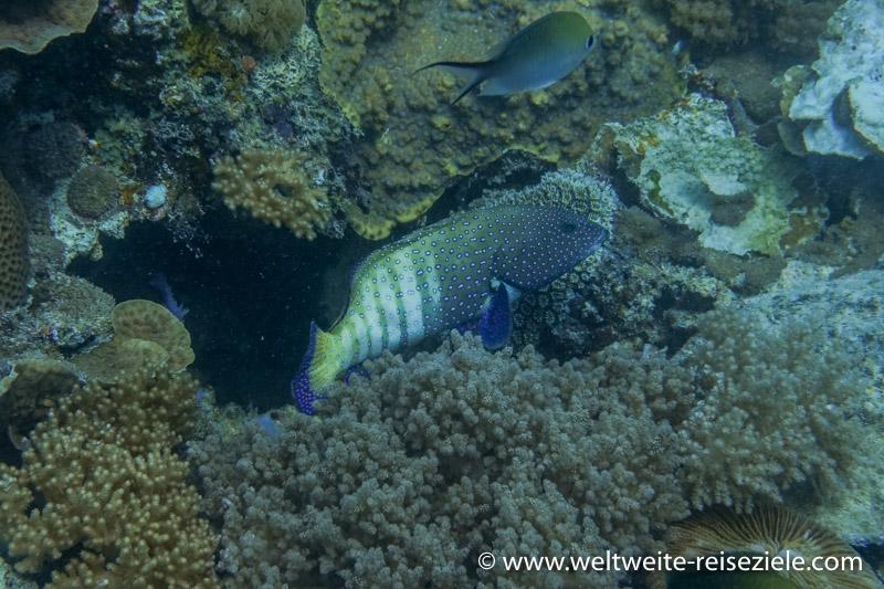 Pfauen Zackenbarsch. Tauchrevier Bucht von Kizimkazi