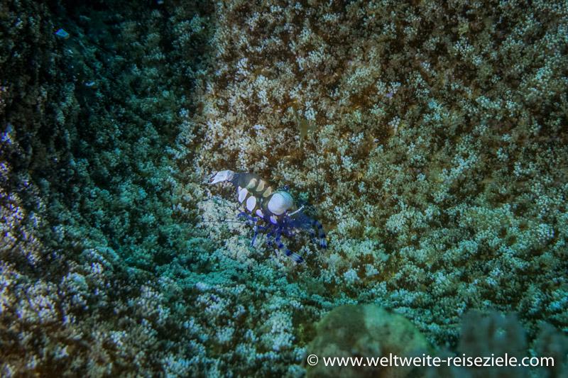 blau weiss orange kleine Garnele, Tauchen Sansibar
