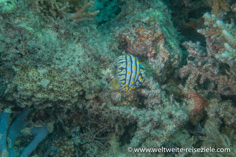 weiss-schwarz-gelbe Warzenschnecke, Sansibar Süden