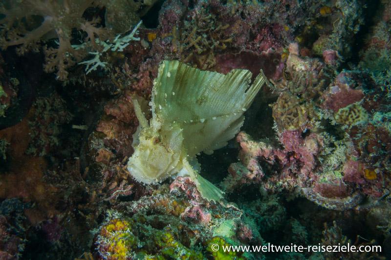 Schaukelfisch (Taenianotus triacanthus), Sansibar Tauchen