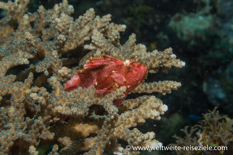 kleiner roter Drachenkopf auf Koralle, Tauchgang Südküste Sansibar