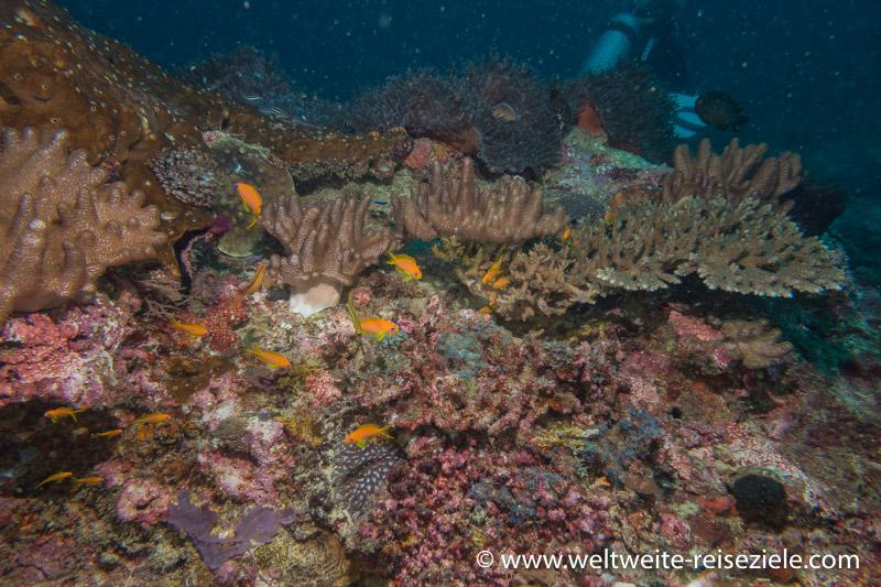 Bunte Fische auf buntem Korallenriff, Tauchgebiet Kizimkazi