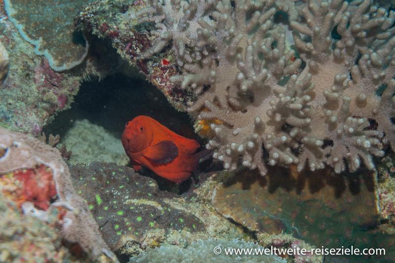 Roter Barsch zwischen Korallen, Tauchen Sansibar