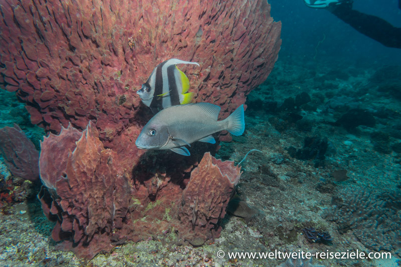 schwarz-weiss gestreifter Wimpelfisch vor rotem Schwamm mit grauer Süsslippe