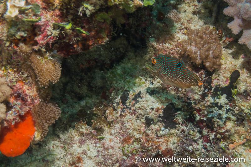türkis gepunkteter Kofferfisch, Zanzibar