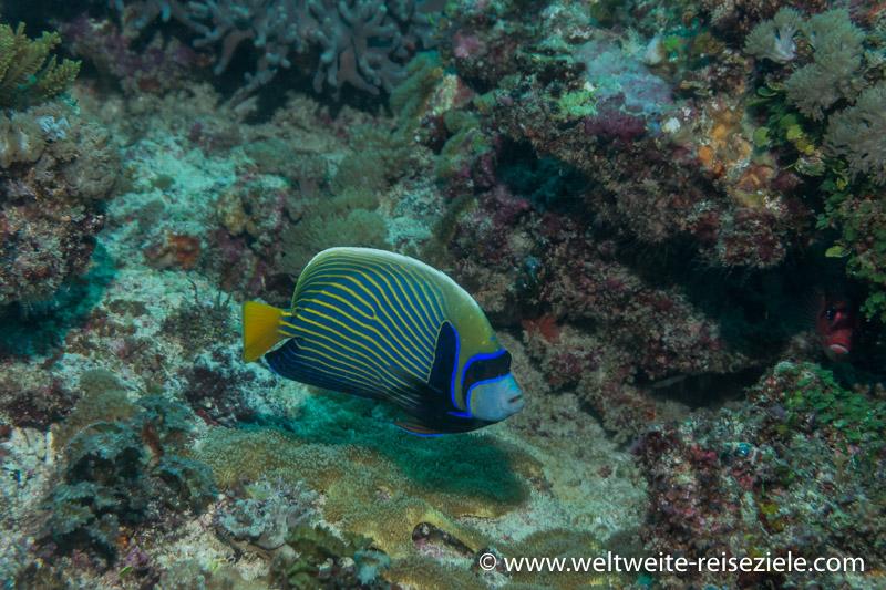Imperatorkaiserfisch , Emperor angelfish, Pomacanthus imperator