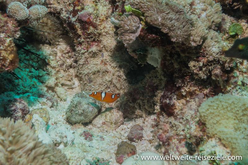Orange weisser Fisch, Riff Südküste Sansibar.