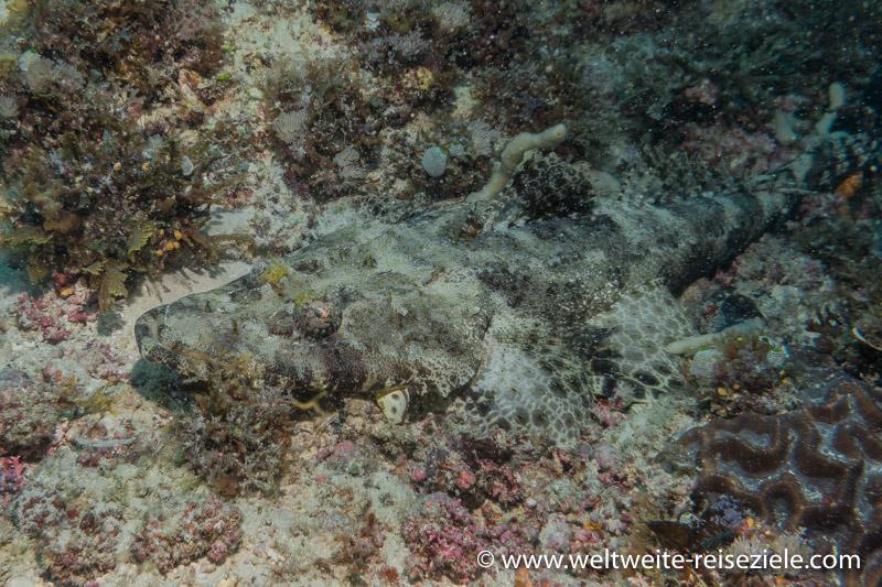 Krokodilfisch Plattkopf, Tauche Zanzibar Südspitze