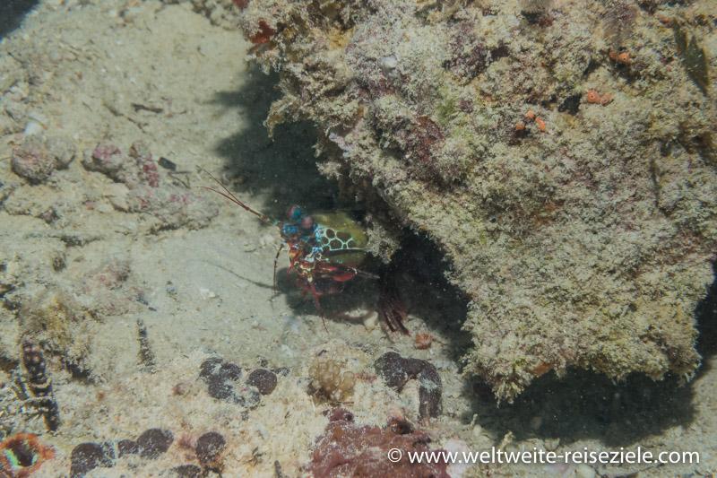 Fangschreckenkrebs, Stomatopoda, Sansibar Nungwi