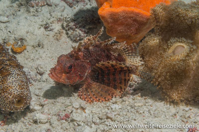 Roter Drachenkopf, Shanes Reef, Sansibar Norden
