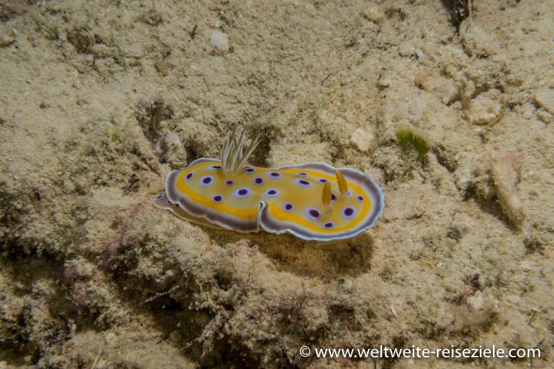 gelb blaue Nacktschnecke, Nacktkiemer, (Nudibranchia)