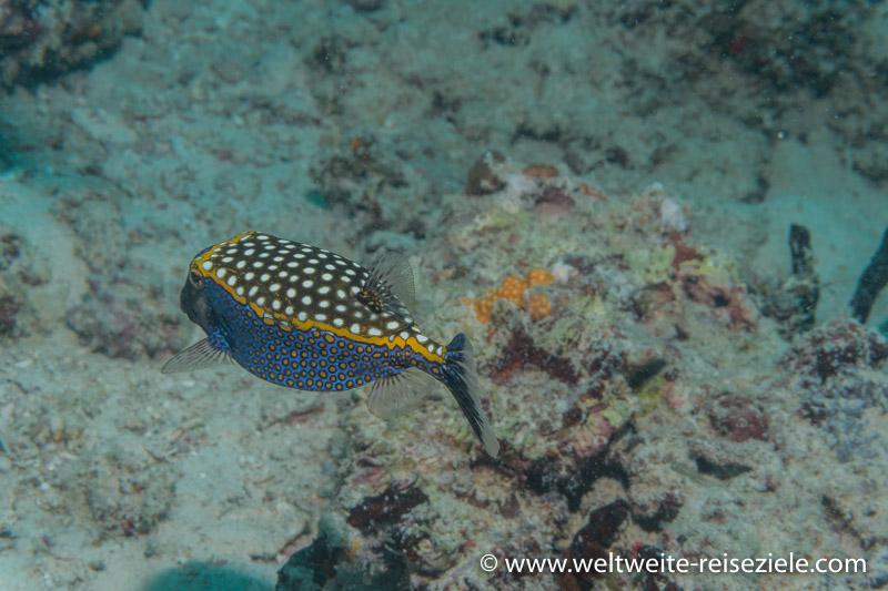 Ostracion meleagris, Weißtüfpel-Kofferfisch, Zanzibar Norden